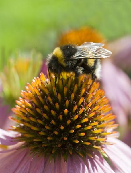 Bee by foxdownspringflower