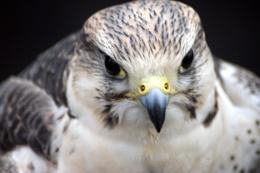 Predatory Hawk