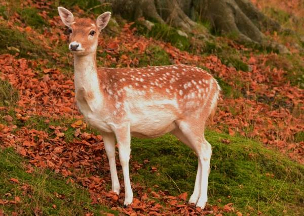 Bambi by Lottiephotography