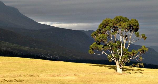 Eucalyptus Tree by Hermanus