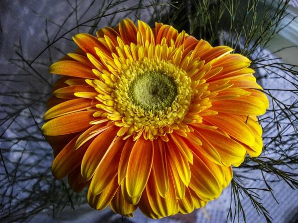 Yellow Daisy by ManCorMac