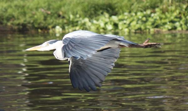 Heron on the river Weaver by Jabbott
