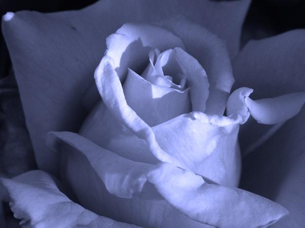 purple rose by MidnightMaya