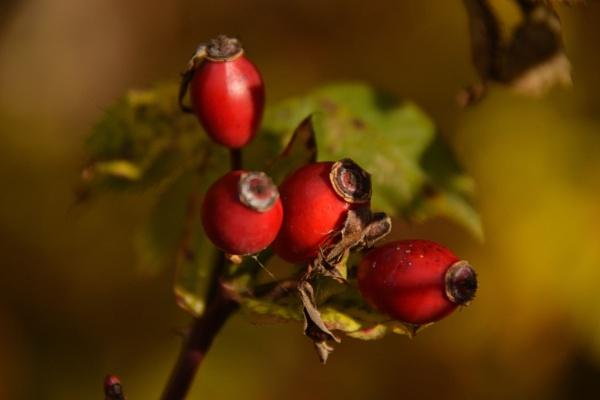 Hawthorn Berries by Mrsbass