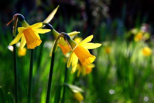 Springful  wish by boov
