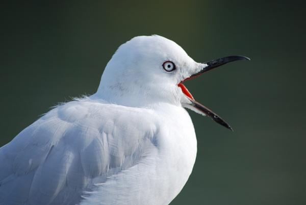 Seagull by photopix12