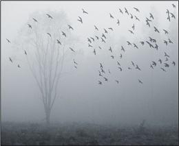 Kinnordy Crows