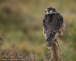 Peregrine falcon (C)