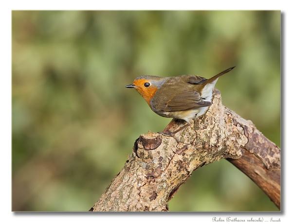 Robin (Erithacus rubecula) by teocali