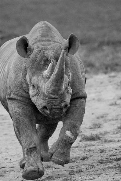 Bouncy Rhino by editfmah