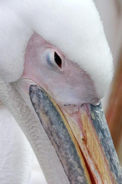 Pelican Portrait by Bigdenbo