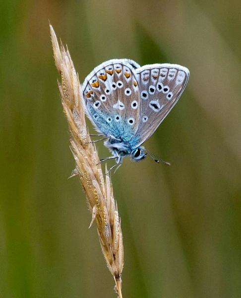 Common Blue Taken at Dawlish Warren NNR by Harpic