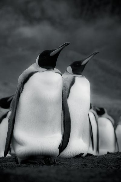 Penguins at Gold Harbour by SamCrimmin