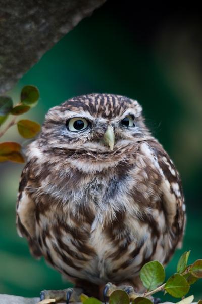 Little Owl by ron thomas