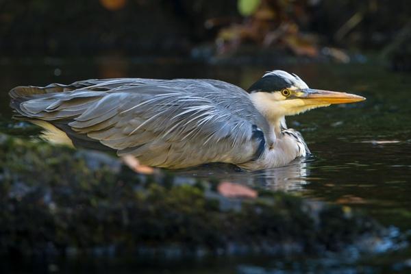 Grey Heron by ron thomas
