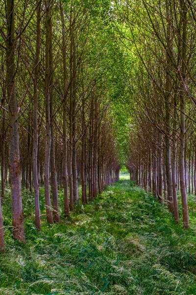 Tree Avenue by ron thomas