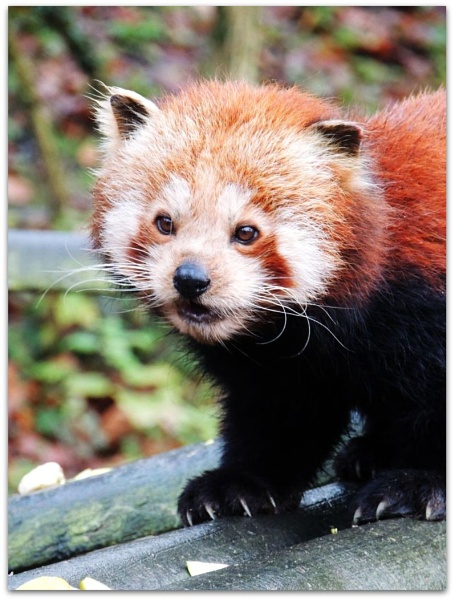 Red Panda by kathrynlouise