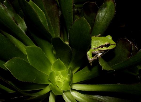 Green Frog & House Leek