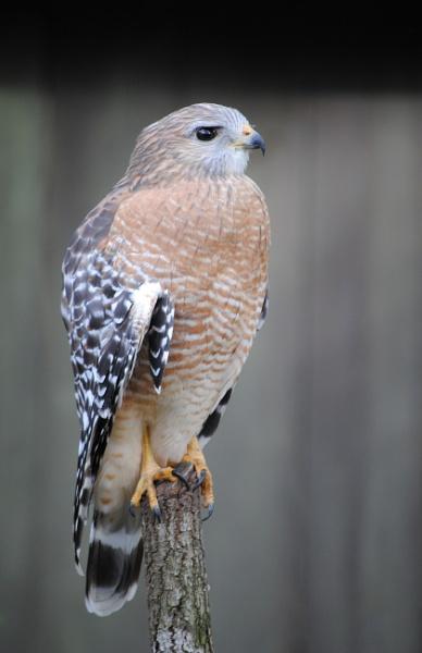 Hawk by kl0verleaf