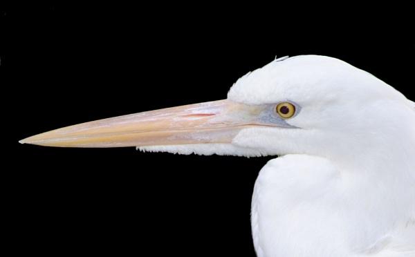 Snowy Egret by kl0verleaf
