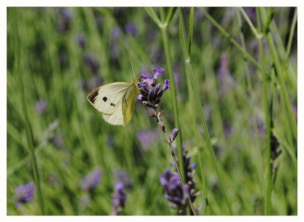 ummmm,Lavender! by elizabethapike62