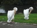 Twin Pelicans