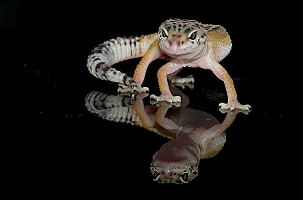 reflection of a leopard gecko by robertjhook