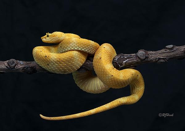 Eyelash Viper by robertjhook
