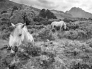 Horses near Tryfan peak, Gwynedd