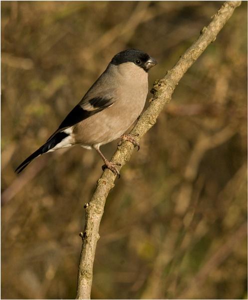 Female Bullfinch by dven