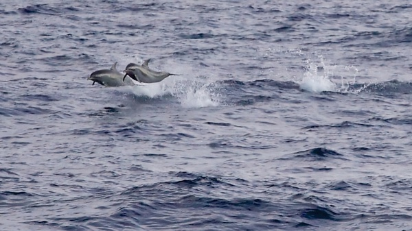 Mexican Dolphins by StephenBrighton