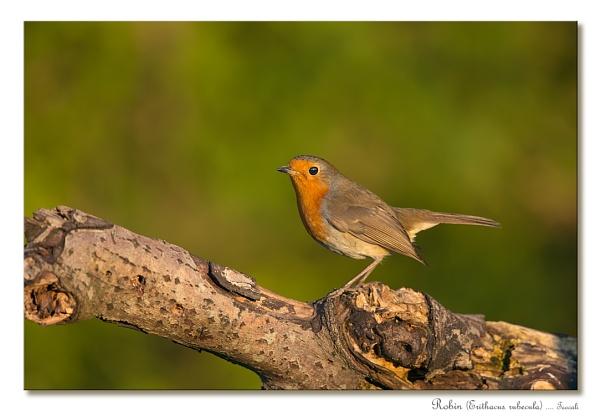 November Robin by teocali