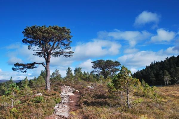 Rothiemurchus Scots pine tree by Scotscraig