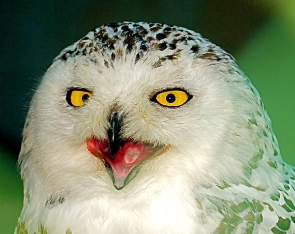 snowy owl by sparrowhawk