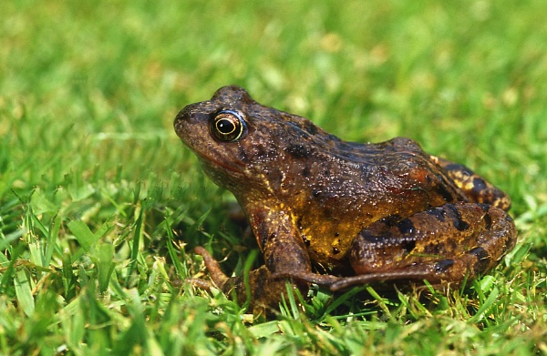 Common Frog by TonyDy