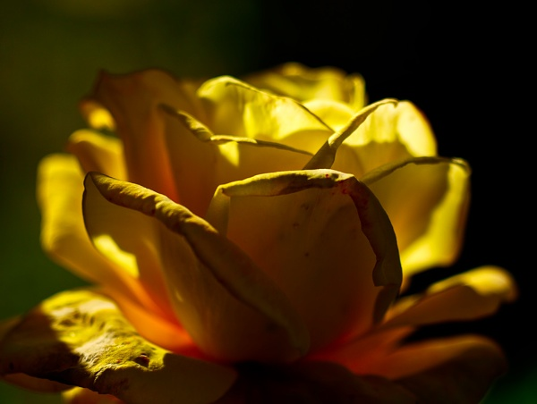 Late Fall, Weathering Yellow Rose by smartbox