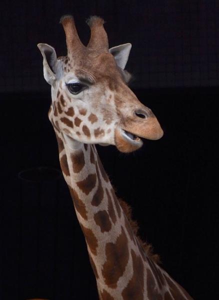 Giraffe by jambutty53