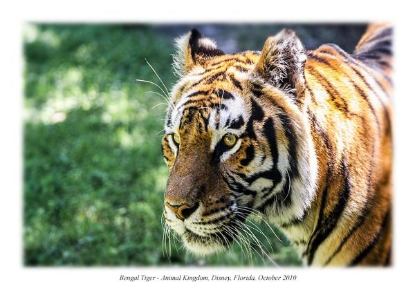 Tiger by mogseyboy