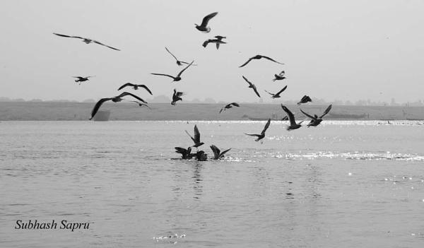 Birds by Subhashsapru