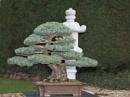 200 Year Old Japanese WHITE Pine Bonsai!