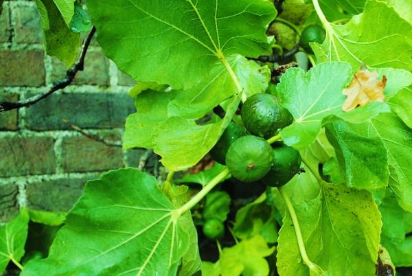 Fresh figs... by Chinga