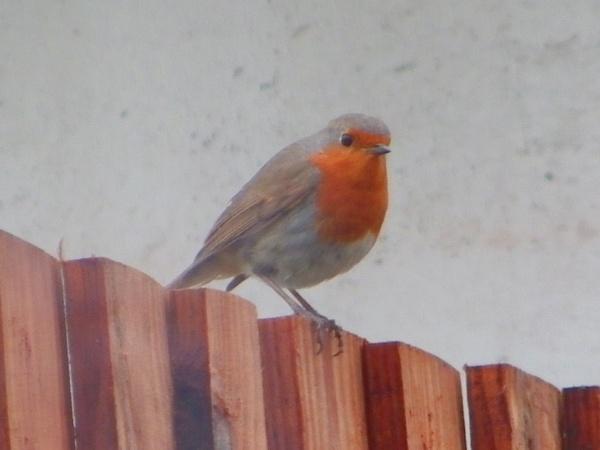 Robin on a fence. by kish123
