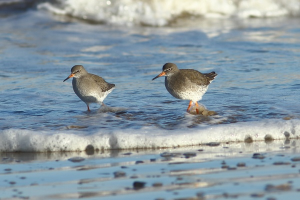 Redshank by PaulB45