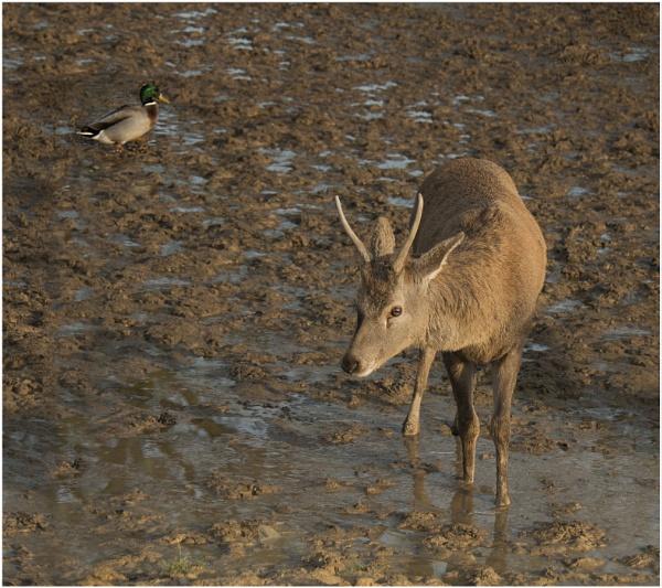 Duck \'n\' Buck by Fotofunguy