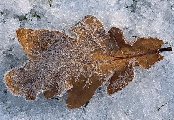 Fallen oak leaf on snow by AnnJ
