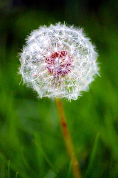 dandelion by grlloyd
