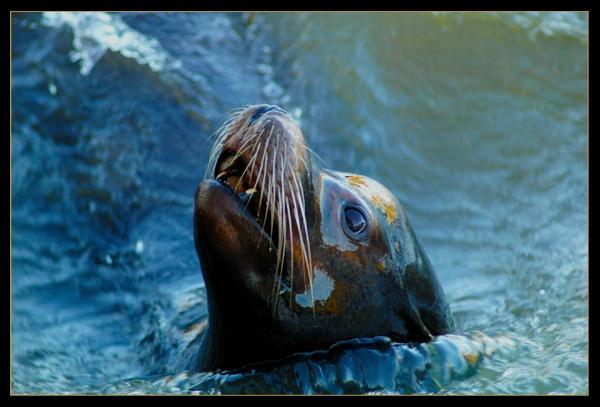 Californian Sea Lion by scarjam