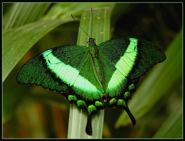 Green Butterfly by scarjam