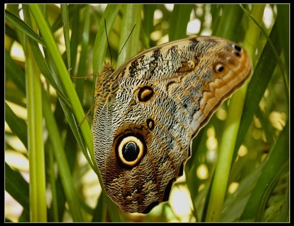 Owl Eye Butterfly by scarjam