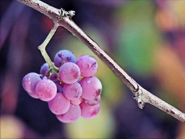 Grape by Monnika